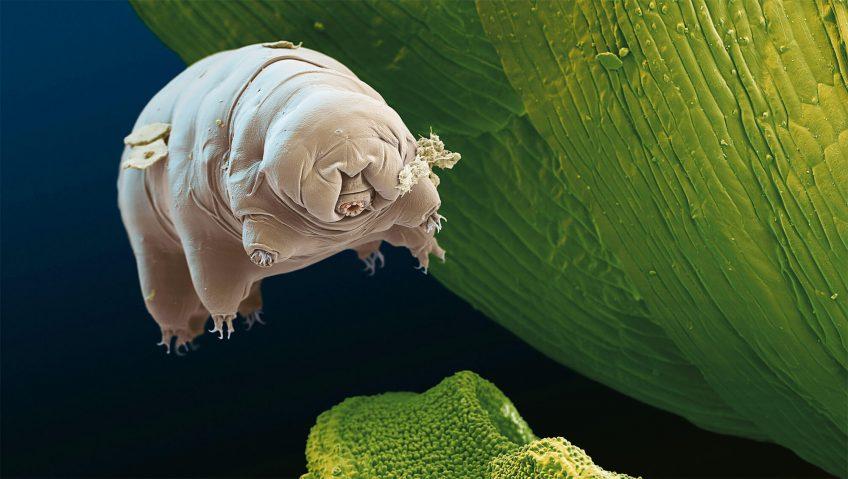 Les tardigrades à la conquête pacifique du monde