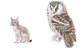 Chouette de Tengmalm et Lynx boréal