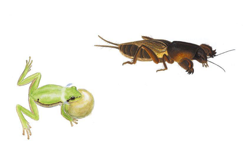 Rainette verte et courtilière