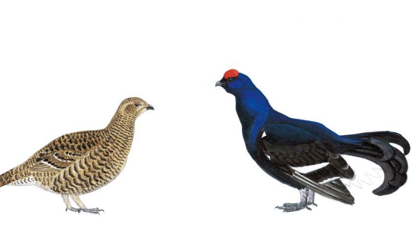 Têtras-lyres femelle et mâle