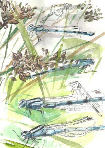 dessin-de-la-semaine-2014-sem29-derry-agrions-vertical