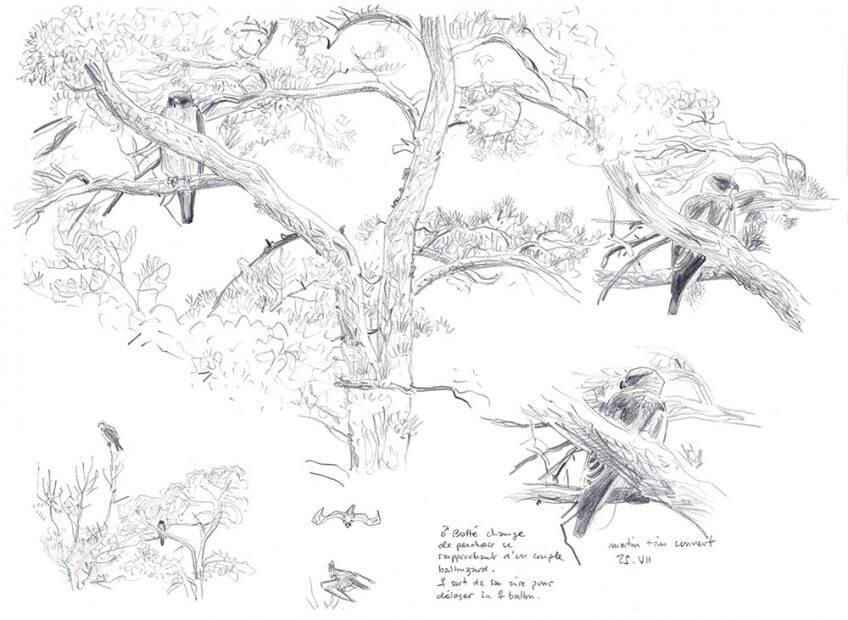 Aigle botté par Alban Larousse