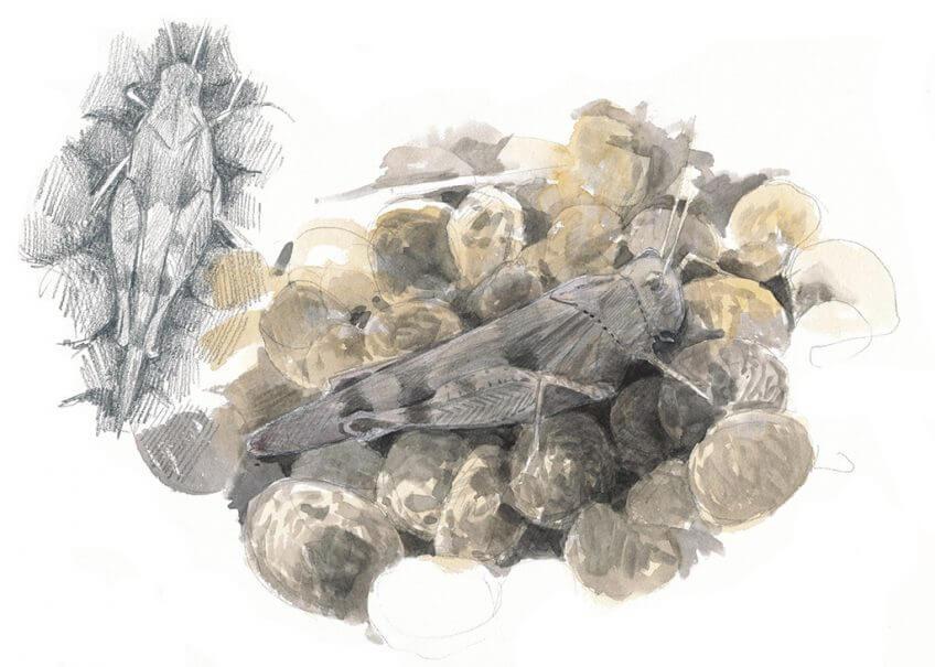 Criquet oedipode turquoise par Sylvain Leparoux