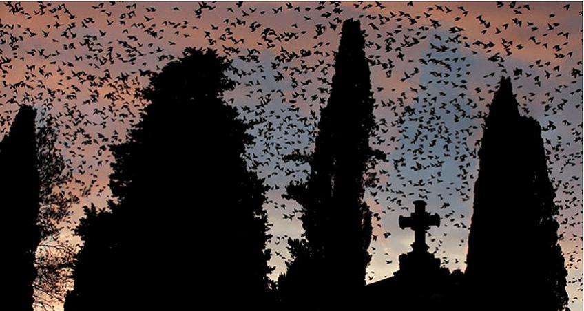 Etourneaux à Rome, proies du faucon pèlerin