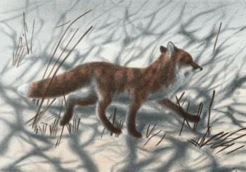 dessin de renard roux