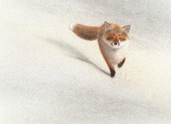 dessin renard roux