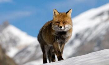 Image forte de renard roux tirée du film d'Anne et Erik Lapied