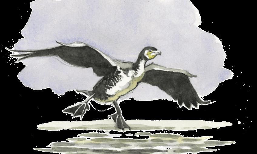 3 conseils pour observer les cormorans