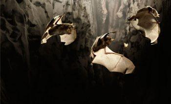 Le grand rhinolophe crie avec ses narines entourées d'une sorte de feuillle nasale.