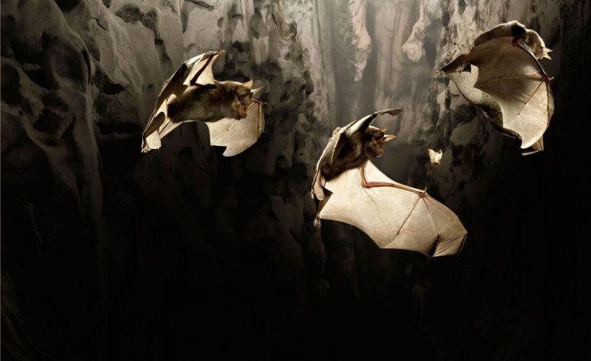 Le vol à main armée des chauves-souris