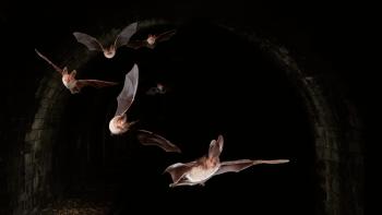 L'oreillard roux, reconnaissable à ses grandes oreilles, est capable de réaliser du vol stationnaire.