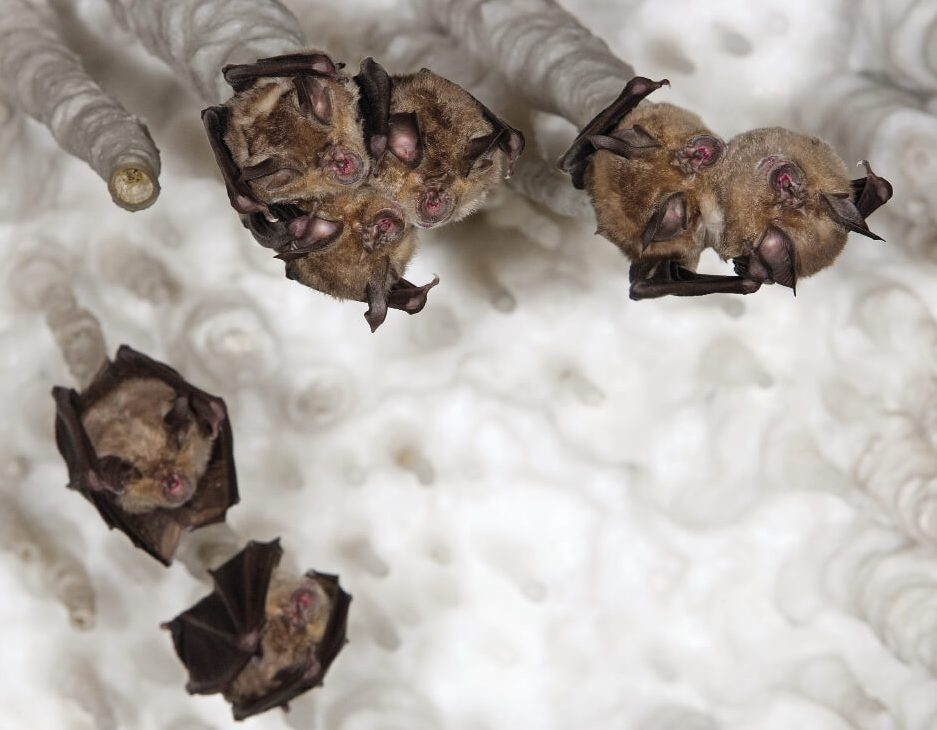 chauves-souris grands rhinolophes pendues au plafond d'une cavité naturelle.