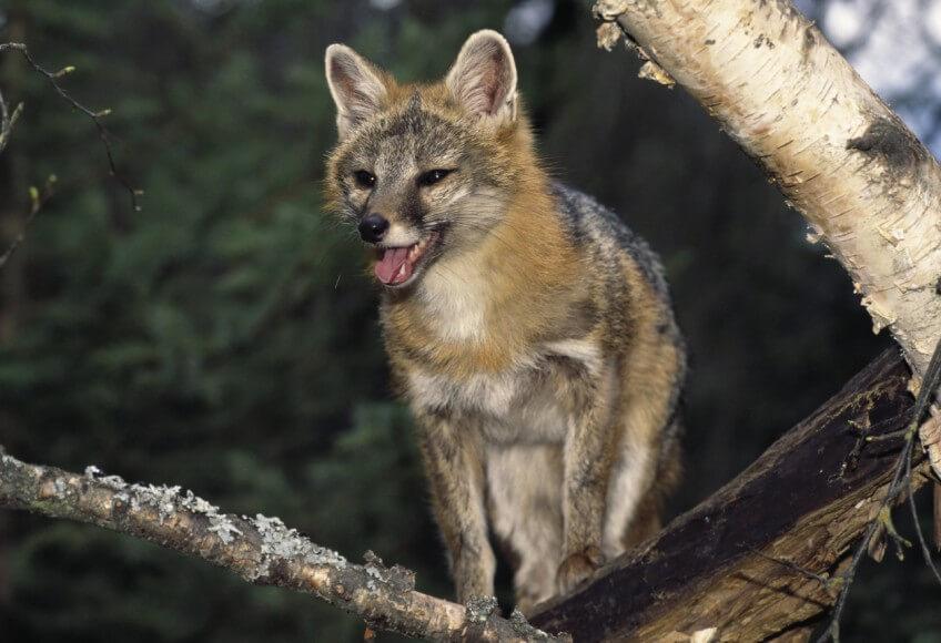 Rusé le renard ?