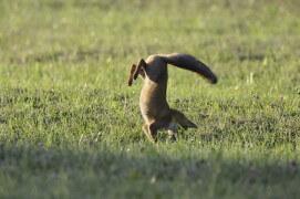 photo renard roux chasse / © Fabrice Cahez