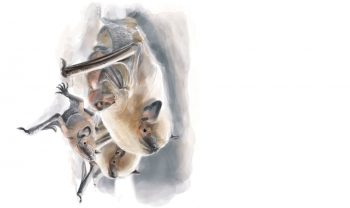 Pipistrelle commune, la plus répandue de nos chauves-souris.
