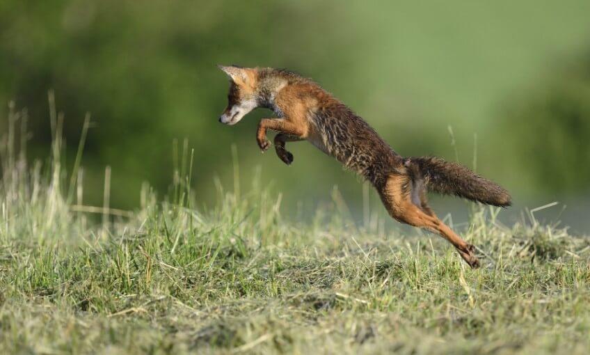 Le renard est-il un voleur ?
