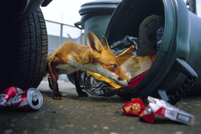 Le renard est aussi un citadin