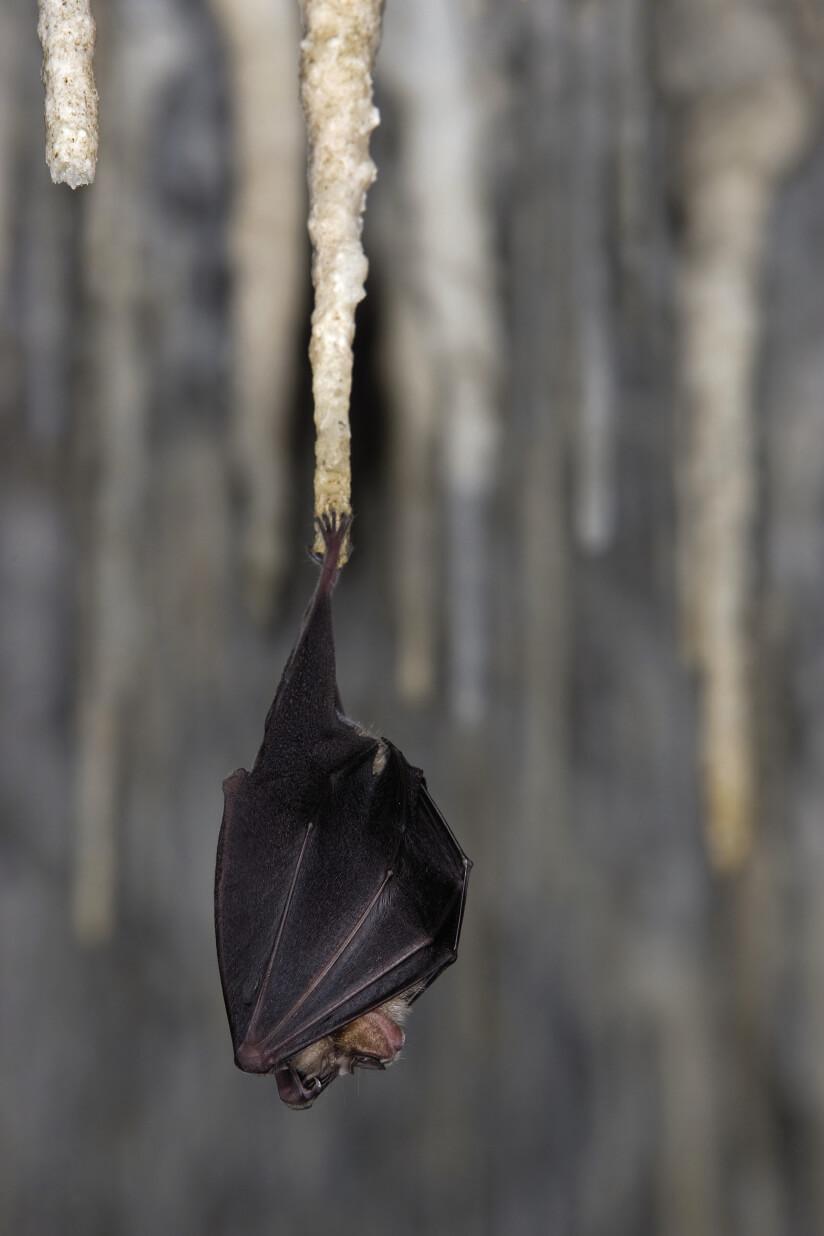 naissance d'une pipistrelle