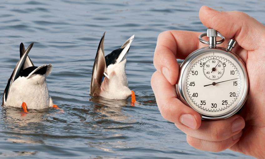 Chronométrez les plongées des canards