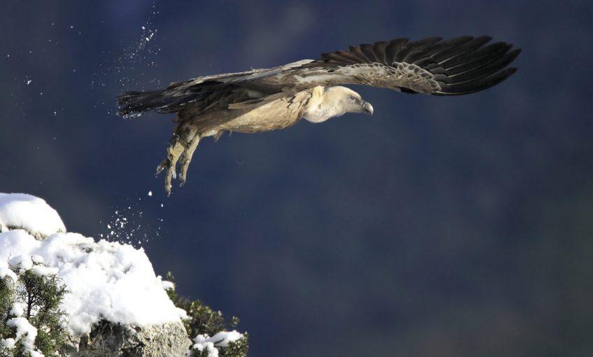 Le retour des vautours dans le Verdon