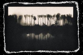 Cygne tuberculé / © David Tatin
