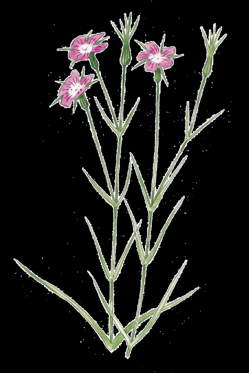 les jolies fleurs des champs
