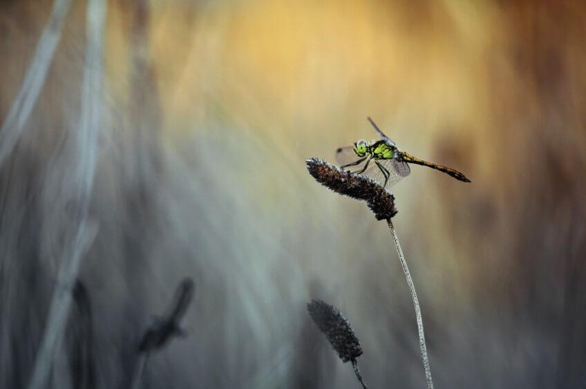Une libellule sort de l'aube