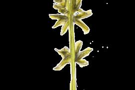 Laîche hérisson, Carex echinata / © Jérôme Gremaud
