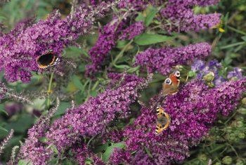L'envahissant buddléia ou arbre à papillons…