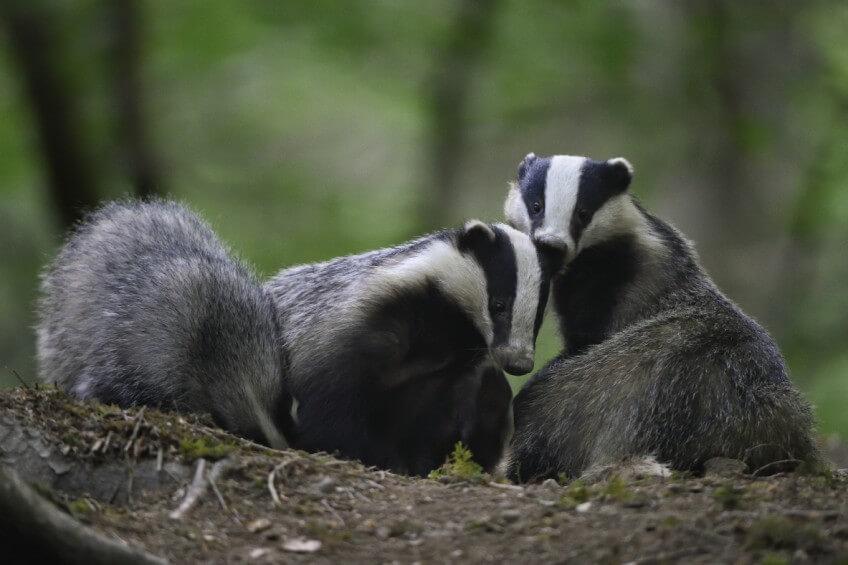 Pourquoi les mammifères sortent-ils surtout le soir et la nuit?