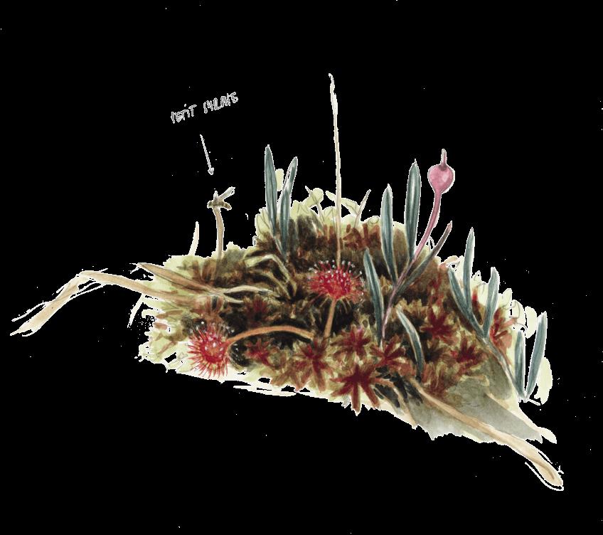 La droséra, une plante carnivore de chez nous.