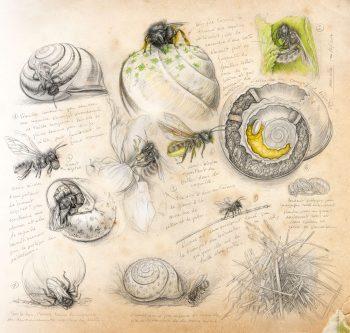 Cette osmie s'est trouvée une jolie coquille d'escargot pour y faire grandir ses petits. Habileté, ingéniosité, découpage, colmatage, construction… au travail !