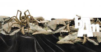 Lycose ou araignée-loup