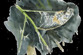 Abri de soie vide avec les déjections d'une chenille disparue. Que lui est-il arrivé? Beaucoup sont capturées par des oiseaux comme les mésanges: la survie de leurs nichées dépend totalement de cette source de protéines. Au moins autant sont parasitées par des petites mouches, des guêpes ichneumons ou des champignons. / © Sylvain Leparoux
