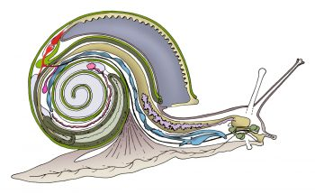 Anatomie interne d'un escargot