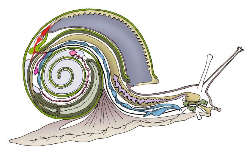 Secrets anatomiques de l'escargot épisode 2