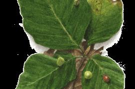Août - quelques galles bourgeonnent sur les feuilles du hêtre. Des parasites sont passés par là… / © Jacques Rime