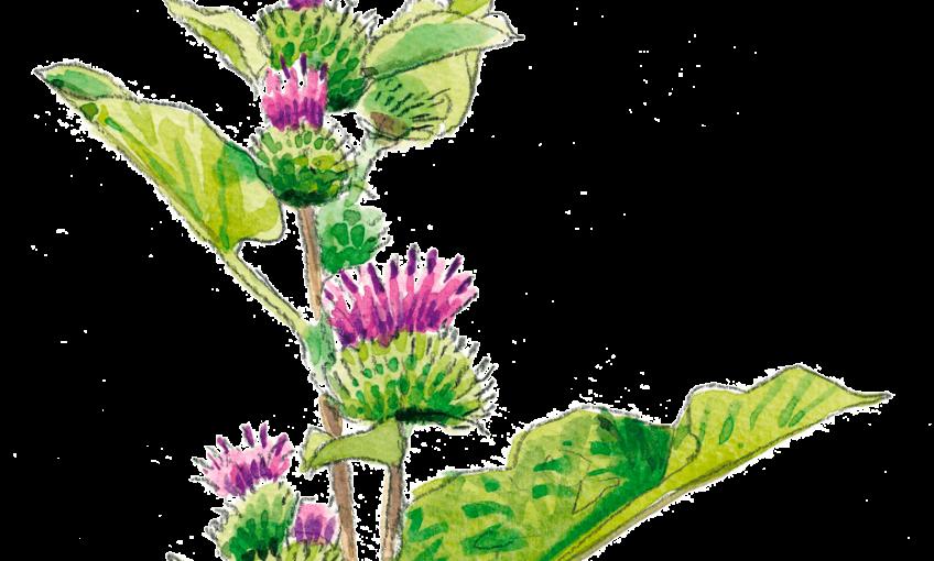Les plantes préférées du papillon belle-dame