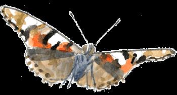 L'automne des papillons belles-dames