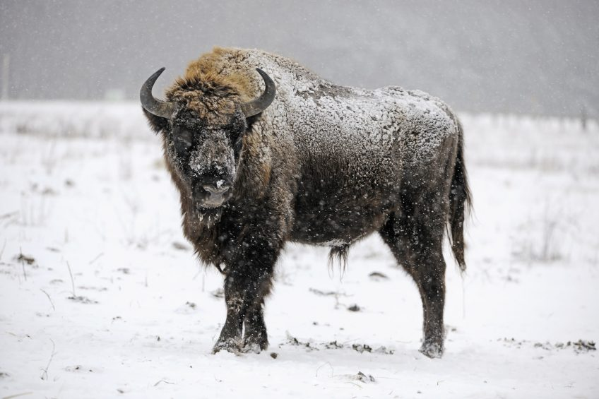 Retour du bison en Suisse ?
