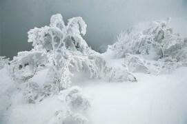 Branches de sapins ployant sous la neige / © Vincent Munier