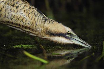 Butor étoilé en train de pêcher au bord de la roselière.