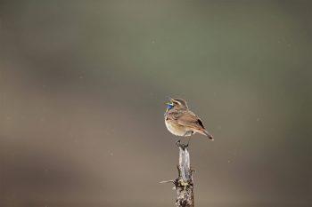 Ce mâle de gorgebleue à miroir roux en plumage nuptial chante sous la pluie comme s'il était seul au monde