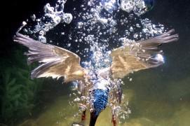 Ce martin-pêcheur a réussi à capturer un poisson sous l'eau, ce qui n'est pas gagné d'avance vu sa visibilité plutôt mauvaise dans cet élément. / © José Luis Rodriguez