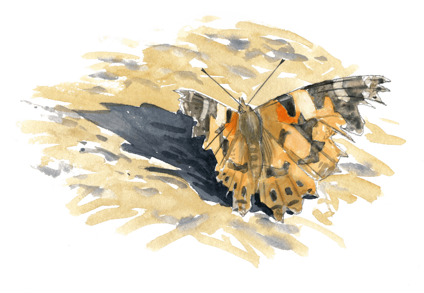 La grande migration des papillons belles-dames