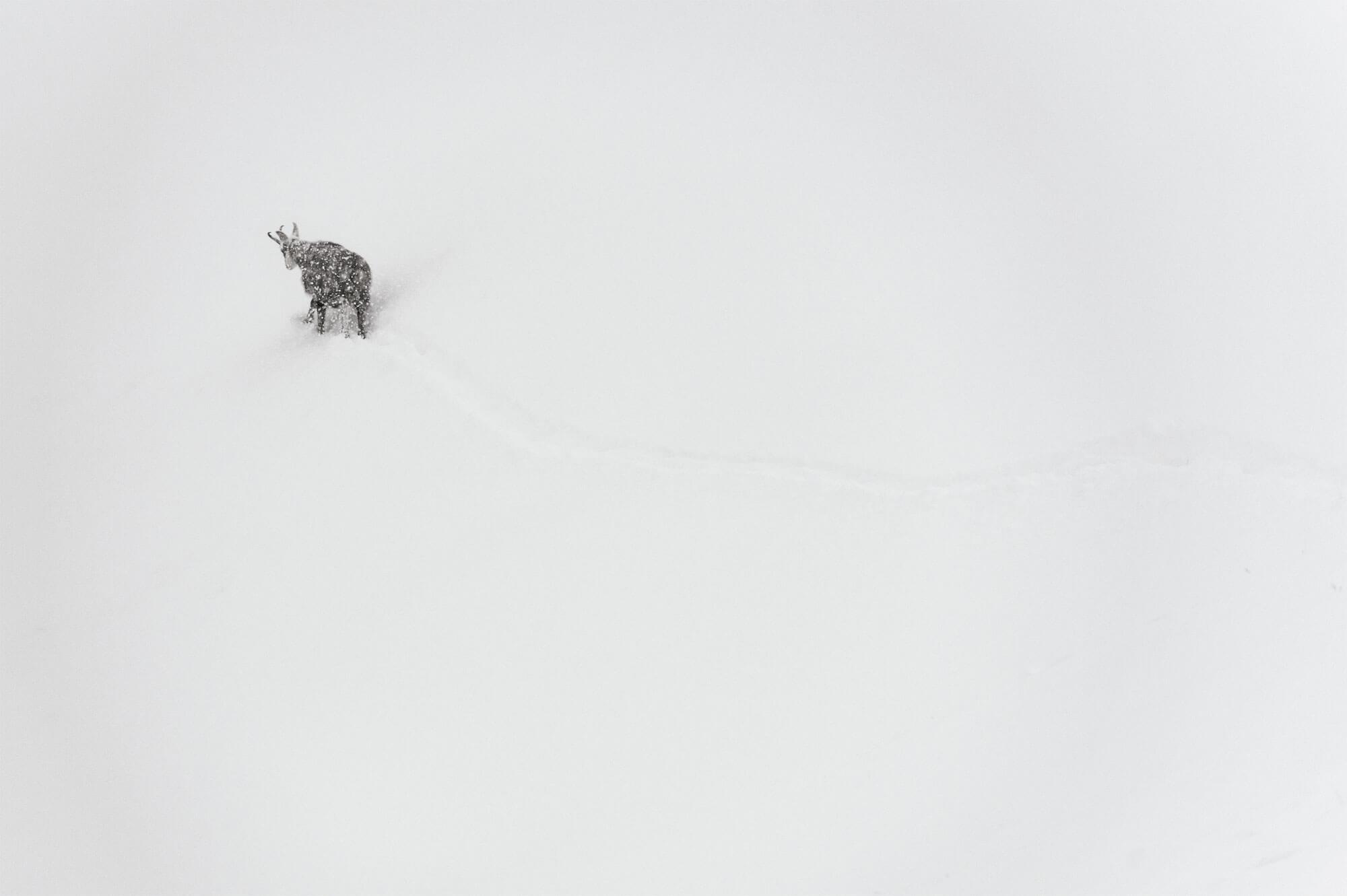 Chamois bravant la neige
