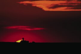 Chevêche d'Athéna au soleil couchant