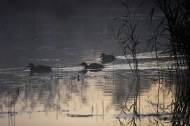 Colverts en ombre chinoise. / © Benoît Renevey