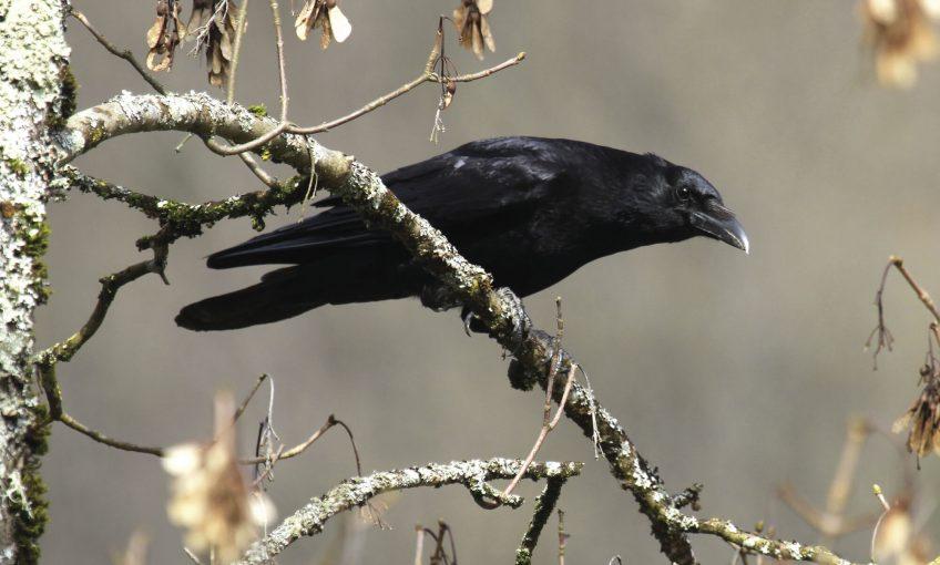 SHOC programme de suivi des oiseaux en hiver