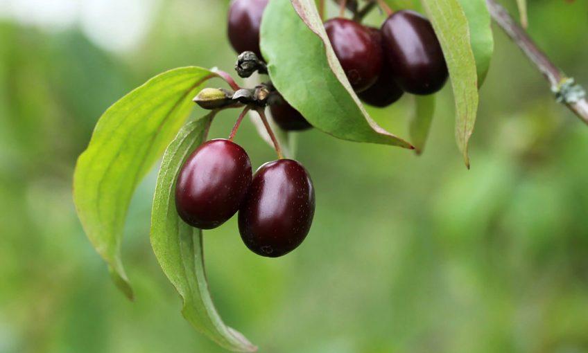 Recette de liqueur de fruits de cornouiller mâle sauvage